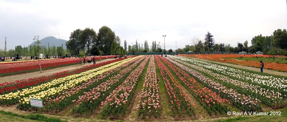 another day in paradise tulips