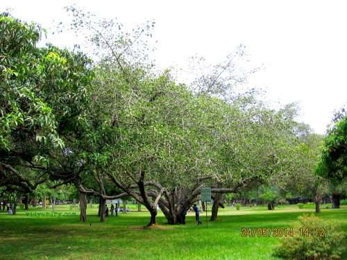 lalbagh trees