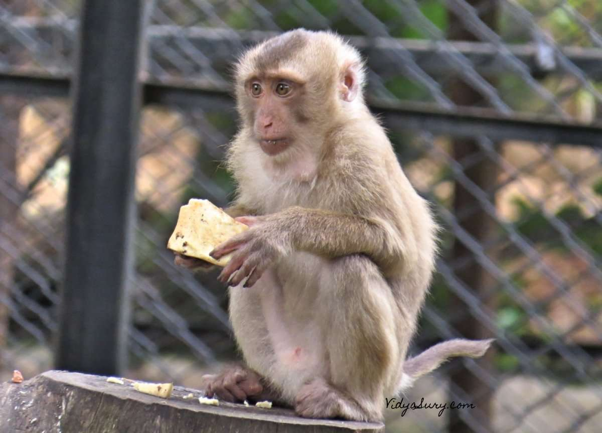 Monkey Business Bannerghatta Zoo 2