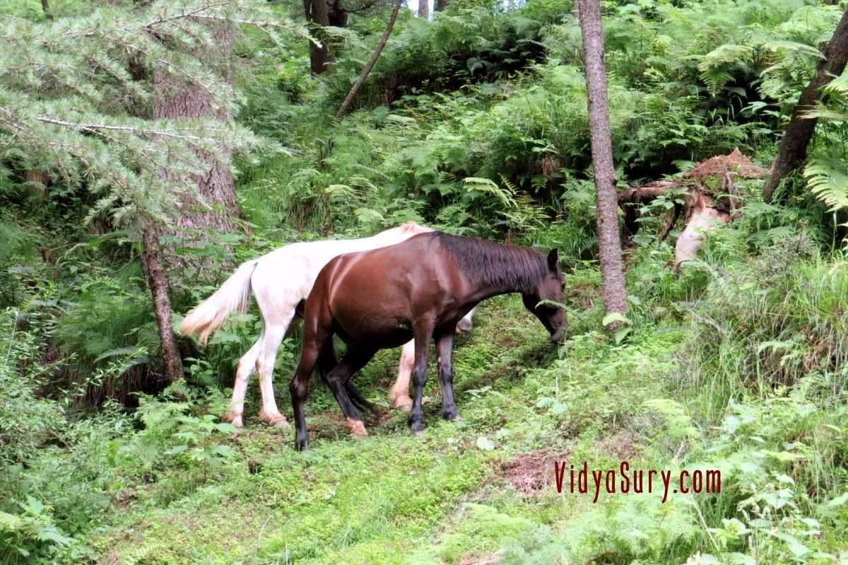Chail Kufri road Horses Grazing