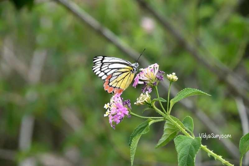 Butterflies Jim Corbett National Park
