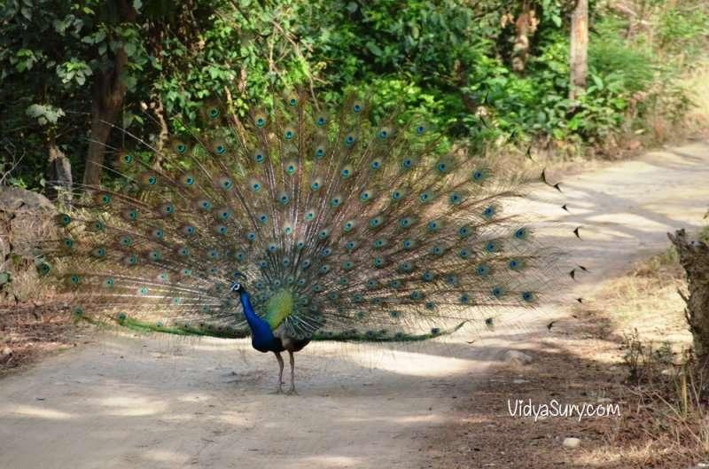 Peacock at Jim Corbett National Park