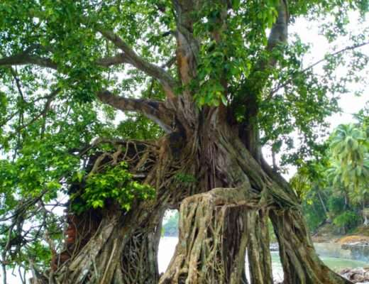 Trees of Ross Island Andamans