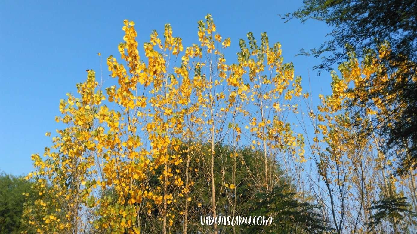 Poplar Trees Blue Skies