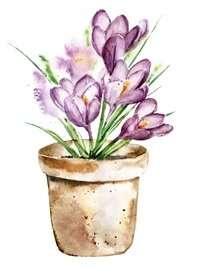 Crocus flowers at home